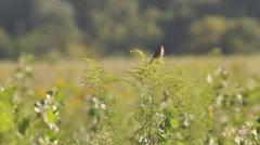 Stock Video Footage of bird on goldenrod