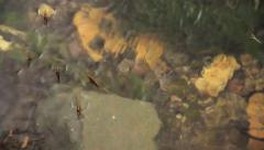 Pondskater insects in Water Stock Footage