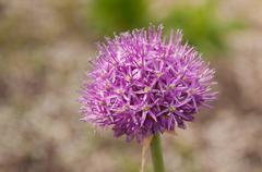 Garlic Blossom - stock photo