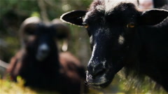 Black Wild sheep in western Norway focus shift Stock Footage