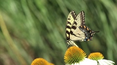 Yellow Butterfly Goes From Flower To Flower Stock Footage