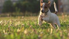 Cute puppy dog Jack Russell three months, slow motion 240 running across grass Stock Footage