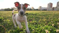 Cute puppy dog Jack Russell three months, slow motion 240 running across grass - stock footage
