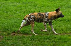 Painted Hunting Dog runs Kuvituskuvat