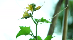 Organic Cucumber (Cucumis sativus) With Tendrils on the Vine  Stock Footage
