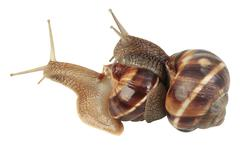 Snails Mating - stock photo