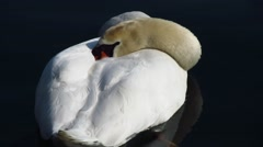 Close up of swan relaxing and sleeping on lake waves Stock Footage