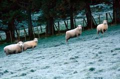 Four sheep flock in a paddock of a sheep farm station - stock photo
