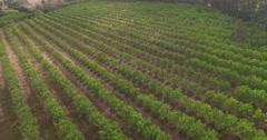 Aerial footage of Naartjie Plantation Stock Footage