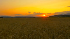 AERIAL: Beautiful yellow wheat field at golden summer sunset Stock Footage