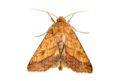 Brown moth isolated on a white background - stock photo