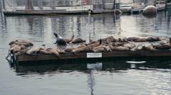 Sea Lions Sunbath on Marine Mammal Barge Stock Footage