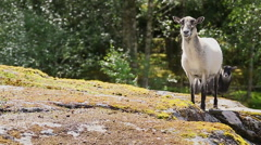Wild sheep in western Norway Stock Footage