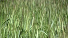 Rye field (closeup) Stock Footage
