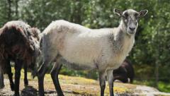 Westcoast Norway wild sheep White female - stock footage