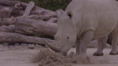 Rhinoceros eating close up Stock Footage