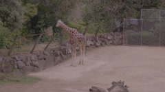 Giraffe eating Stock Footage