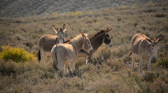 Death Valley Burros 05 Wild Donkey Stock Footage