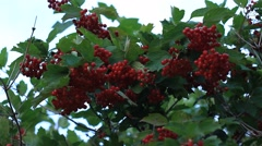 Guelder rose (Viburnum opulus) ripe red berries Stock Footage