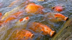 Big Koi carps in a pond Stock Footage