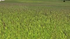 Rye field Stock Footage