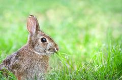 Cute Cottontail bunny rabbit munching grass - stock photo