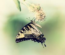 Eastern Tiger Swallowtail butterfly (Papilio glaucus) on buttonbush Stock Photos