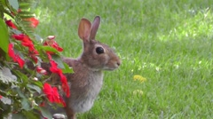 Amid Nature - Wild Cottontail Rabbit Among The Flowers Stock Footage