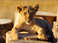 Lion cub in nature and wooden log. eye contact - stock photo