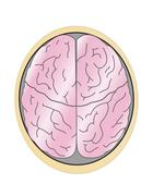 human brain - stock illustration