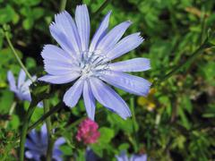 Closeup of blue Chicory flower on a background of a different field grass Stock Photos