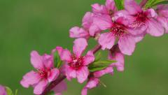 Cherry blossoms. Spring flowering. Fruit trees in bloom. Stock Footage