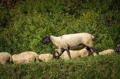 flock of sheep grazing on green pasture - stock photo