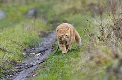 Red cat walks in the autumn grass on a leash Stock Photos