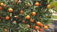 Monastery garden and orange tree in Ho Chi Minh City, North Vietnam Stock Footage
