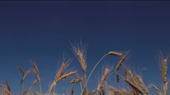 Summer landscape 4K. Wheat ears moving in the wind. Timelapse - stock footage