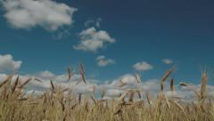 Summer landscape 4K. Wheat ears moving in the wind. Timelapse Stock Footage