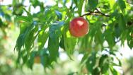 Stock Video Footage of Ripe peach on a tree, pan.