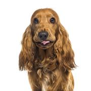 Close-up of an English Cocker Spaniel (1 year old) - stock photo