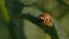 Colorado potato beetle Stock Footage