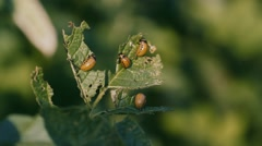Colorado potato beetle Stock Footage