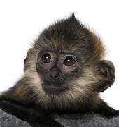 Close-up of a baby Francois Langur (4 months) - stock photo