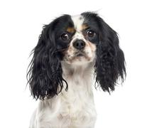 Close-up of a Cavalier King Charles Spaniel (1 year old) Stock Photos