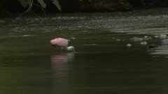 Spoonbill feeding in river 1 Stock Footage