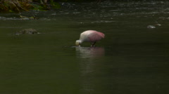 Spoonbill feeding in river 2 Stock Footage