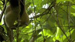 Collared Anteater feeding in tree Stock Footage