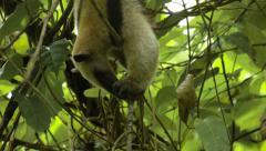Collared anteater eating - stock footage