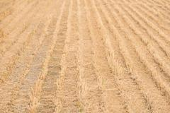 Dry Rice Field After Cultivation Stock Photos