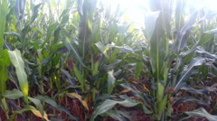 Horizontal motion closely past a field or corn / maize Stock Footage