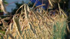 Stock Video Footage of Ripening spikelets of wheat field at sunset